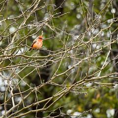 Vermillion Flycatcher (immature) (phoca2004) Tags: peñablancalake z6 nikon birds santacruzcounty arizona vermillionflycatcher pyrocephalusrubinus birding riorico unitedstatesofamerica us