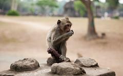 Angkor Wat Macaques