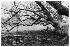 Nach dem Sturm ([.][of][view]) Tags: 6d baum canonef40mmf28stm landscape landschaft arbre bw blackandwhite blende8 canon canon6d nature noiretblanc sw tree