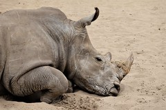 Rhinoceros (claude 22) Tags: zoo palmyre france animal animaux parc park royan zoological sauvages wild animals rhinoceros