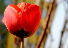 Tulipan. (andrzejskałuba) Tags: poland polska pieszyce plant dolnyśląsk silesia sudety europe natura nature natural natureshot natureworld nikoncoolpixb500 red roślina color czerwony zieleń green garden tulip tulipan flower flora floral macro kwiat beautiful wiosna spring gałązka twig 100v10f 1000v40f 1500v60f