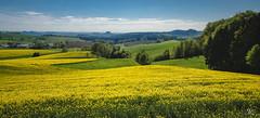 Colors of Spring (Uwe Kögler) Tags: saxony sachsen sächsischeschweiz berge germany rapsblüte frühling spring rape deutschland elbsandsteingebirge elbe bäume saxonswitzerland