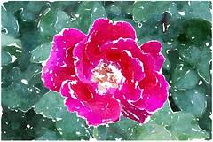 Das fromme Lamm erduldet (amras_de) Tags: rose rosen ruža rosa ruže rozo roos arrosa ruusut rós rózsa rože rozes rozen roser róza trandafir vrtnica rossläktet gül blüte blume flor cvijet kvet blomst flower floro õis lore kukka fleur bláth virág blóm fiore flos žiedas zieds bloem blome kwiat floare ciuri flouer cvet blomma çiçek zeichnung dibuix kresba tegning drawing desegnajo dibujo piirustus dessin crtež rajz teikning disegno adumbratio zimejums tekening tegnekunst rysunek desenho desen risba teckning çizim