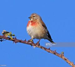 Linnet male (Gary Chalker, Thanks for over 4,000,000. views) Tags: male linnet bird pentax pentaxk3ii k3ii pentaxfa600mmf4edif fa600mmf4edif fa600mm 600mm