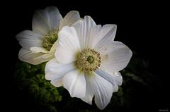 white anemones (Christine_S.) Tags: macro canon eos m5 mirrorless nature garden japan anemone closeup raindrop flower flowers explore explored ngc npc