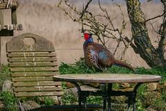 Fasan (Phasianus colchicus) in einem Bauerngarten auf Amrum (AchimOWL) Tags: lumix leica varioelmar 100–400 deutschland tiere tier natur wildlife nature animal vogel bird outdoor panasonic ngc fauna g9 amrum