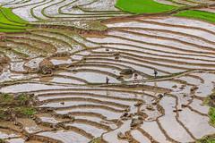 _J5K8330.0513.Lao Chải.Sapa.Lào Cai (hoanglongphoto) Tags: asia asian vietnam northvietnam northwestvietnam northernvietnam landscape scenery vietnamlandscape vietnamscenery sapalandscape terraces terracedfields terracedfieldsinsapa transplantingseason sowingseason canon canoneos1dsmarkiii canonef70200mmf28lisiiusm tâybắc làocai sapa phongcảnh ruộngbậcthang mùacấy đổnước ruộngbậcthangsapa sapamùacấy sapamùađổnước laochải abstract cruve