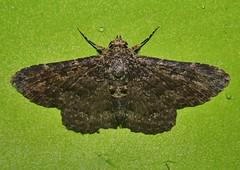 rocky chocky moth Hypomecis sp Ennominae Geometridae Airlie Beach Rainforest P1020774 (Steve & Alison1) Tags: rocky chocky moth hypomecis sp ennominae geometridae airlie beach rainforest