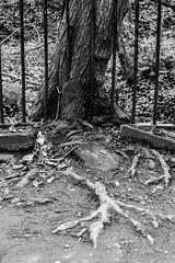 Roots (separatesunsets) Tags: architecture deanvillage edinburgh old scotland stockbrigde waterofleith