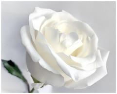 Rose (Timothy Valentine) Tags: rose whiteonwhite 0119 2x2x2½ 2019 home macromondays eastbridgewater massachusetts unitedstates us