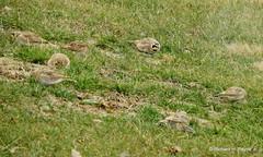 Horned Lark_N8384 (Henryr10) Tags: ottoarmlederpark hamiltoncountyparkdistrict cincinnati ottoarmledermemorialpark armlederpark littlemiamiriver greatparksofhamiltoncounty usa eremophilaalpestris hornedlark lark eremophila vogel ibon oiseau pasare fågel uccello tékklistar hola