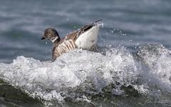 Surf's Up... (Selkii's Photos) Tags: birds blackbrant brantgoose brantabernicla britishcolumbia cloverpointpark goose vancouverisland victoria canada