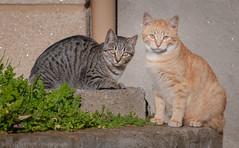 Feline couple (Ignacio Ferre) Tags: gato gatocomún cat felidae felino felid felines feliscatus felids nikon mammal mamífero pet mascota animal pareja couple