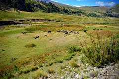 Mansamente pastando / Quietly feeding (pepelara56) Tags: manso tranquilo tranquilidad sereno silencio paisaje ovejas montañas patagonia plácido