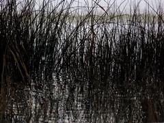 Dark Winter and Grass (Robert Cowlishaw (Mertonian)) Tags: photophari mertonian robertcowlishaw dark light bw blackandwhite canon powershot sx70hs canonpowershotsx70hs curvy grass winter2019 ineffable awe wonder beauty beautiful deepseeksdeep pond reflection nature afternoonstroll