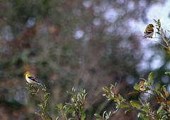 American Goldfinches (austexican718) Tags: texas native fauna centraltexas hillcountry wildlife backyard bird finch goldfinch trees canon eos70d ef70300mm456isusm telephoto bokeh