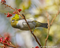 Silver-eye (Jim Scarff) Tags: australianbirds passerines silvereye zosteropslateralis exif:lens=ef100400mmf4556lisiiusm14xiii camera:model=canoneos7dmarkii camera:make=canon geo:location=chamberswildliferainforestlodge exif:aperture=ƒ80 exif:model=canoneos7dmarkii exif:focallength=490mm exif:isospeed=2500 exif:make=canon