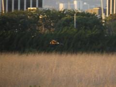 Coursing Harrier (stonebird) Tags: northernharrier circushudsonius ballonawetlandsecologicalreserve areaa february img8619