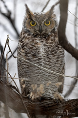 Sometimes... You Must Hold Your Head Up and Wait Out the Storm (RH Miller) Tags: rhmiller reedmiller wildlife bird owl greathornedowl winter snow idaho usa