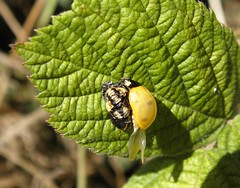 7-spot ladybird (rockwolf) Tags: 7spot ladybird beetle coccinellidae coccinelle coleoptera coccinellaseptempunctata coccinelleà7points insect eclosed merringtongreen shropshire rockwolf