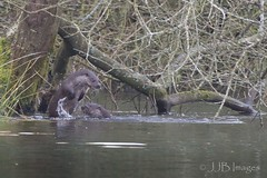 Otters playing. (JJB Images) Tags: amazingnature beautiful canon clear countryside country canoneos6d canonef600mmf4islens detail detailed eos focus interesting image is jjbimages lumix lovelylight minolta nikon nature natural panasonic rural usm fuji wiltshire woodlands wildlife xl young zoom zoomed otters