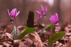 The Three Musketeers (Erythronium dens-canis) (Kapi Zoli) Tags: erythronium denscanis kakasmandikó virág flower nature természet macro makró