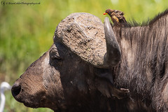Road Rage (Brian Calder) Tags: wildlife buffalo kenya masaimara yellowbilledoxpecker masaimaranationalreserve