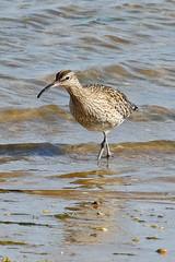 Whimbrel (Roy Lowry) Tags: whimbrel numeniusphaeopus praiadefaro riaformosa