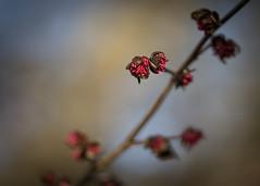 let the show begin! (Emma Varley) Tags: bud plant flower spring red light botanical garden closeup