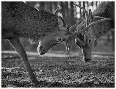 Deer Fight (ddimblickwinkel) Tags: nikon d810 schwarzweis blackandwhite blancoynegro blackwhite wildnis wildlife wild wood wald animals animal art bea hirsch fight kampf tamron tele elk
