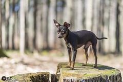 Ooligan des Bois (Philippe Bélaz) Tags: ooligan pragois ratierdeprague animal animaux animauxdecompagnie bois brun chiens chocolat forêts souches