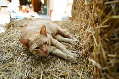 งัวเงีย (oxo oxo) Tags: canonae1program canon ae1program ae1 canonfd fd2828 fd28mm fuji fujiindustrial100 ei100 film analog bangkok cat animal animals ishootfilm filmisnotdead filmcamera filmphotography