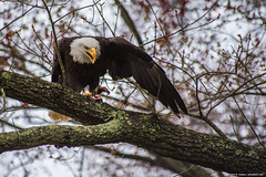 2019.04.06.1402 May I Eat in Peace? (Brunswick Forge) Tags: 2019 virginia jamesriver richmond water woods trees forest animal animals animalportraits outdoor outdoors bird birds raptor raptors wildlife nature cloudy rain spring eagle baldeagle nikond750 fx sigma70300mm favorited