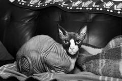 Ti-Gars Foveon! (!Michel Grenier!) Tags: chatsdepetiteàmoyennetaille smalltomediumsizedcats chat sigma vertebrate mammal sdquattro foveon sphynx cat vertébrés mammifère felidae carnivore