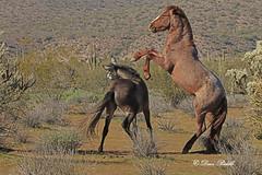 Getting the upper hand (littlebiddle) Tags: arizona tontonationalforest coonbluff desert