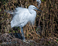 Dressed up ...-8375 (George Vittman) Tags: bird egret heron feathers white nikonpassion wildlifephotography jav61photography jav61 fantasticnature