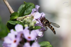 Garden Cleland G4 Common hoverfly on Buddleja GWI_9225.jpg (st peters gardens armidale) Tags: 2018 scrophulariaceae animalia plants australia buddleja insect northerntablelands garden newengland eudicot wildlife commonhoverfly events animals fauna buddlejeae flowering butterflybush gardenweekend ruralgarden stpeters armidaleregion church nature armidale arthropoda opengardens tanglewoodrd syrphoidea nsw phanerogamae places magnolopsida plant ischiodon syrphidae flora scutellaris diptera plantae lamiales gardenweekendflickr brachycera insecta magnoliophyta angiospermae dicot