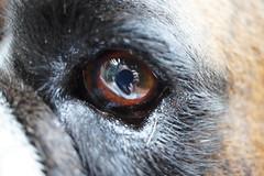 eye I (busyBlueMtsGranny) Tags: boxer dog brindle ddogchal
