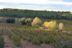 Can Barceló (esta_ahi) Tags: canbarceló santmartísarroca penedès barcelona spain españa испания vinya viña viñedo vineyard vitisvinifera