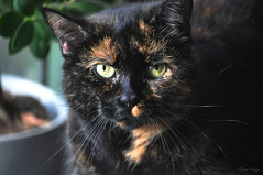 Molly (DameBoudicca) Tags: cat katt katze chat gato gatto 猫 tortoiseshell tortoiseshellcat tortie sköldpadd schildpatt schildpattmuster écailledetortue gattotartarugato 錆び猫 さびねこ ねこ