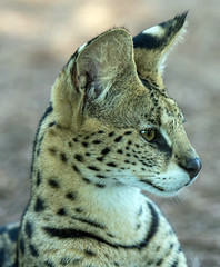 African Serval Cat (lambykeith1952) Tags: cat african serval beauty coat spots markings