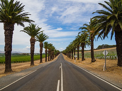 Seppeltsfield Road (Anthony Kernich Photo) Tags: barossavalley barossa wine wineregion winery vineyard seppeltsfield road street tree treelined palm adelaide australia southaustralia sa tanunda marananga travel olympusem10 olympus olympusomd vanishingpoint microfourthirds lumix summer pleasant flickr country outdoor landscape