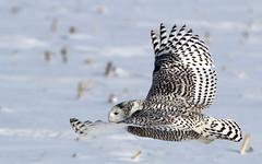 Snowy Owl (Bill G Moore) Tags: snowyowl naturephotography birdofprey billmoore wild wildlife illinois canon winter snow raptor