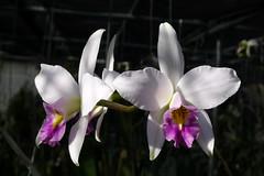 laelia anceps veitchiana 'Andy's Choice' (voorchid) Tags: laelia anceps cattleya hoa lan garden