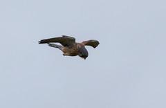 Kestrel (Liam Waddell) Tags: kestrel male bird prey sky bogside flats sssi irvine ayrshire scotland