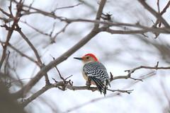 078. Woodpecker (Misty Garrick) Tags: arboretum universityofminnesotalandscapearboretum landscapearboretum flowershow bird birds birding