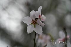 Rainy Day Blossom (Jeffrey Balfus (thx for 4 Million views)) Tags: sonyalpha sonya9mirrorless sonyilce9 fullframe 90mmf28macrogossprimelensmacrosel90m28g
