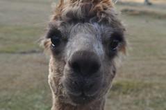 ALPACAS - Alpaga Nouvelle Zelande 2019 (3) (hube.marc) Tags: alpacas alpaga nouvelle zelande 2019 vicugna pacos
