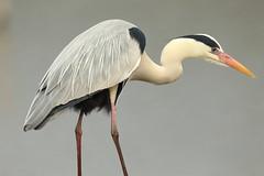 GREY HERON (Teruhide Tomori) Tags: nature bird wild kyoto japan japon hirosawanoike pond winter animal greyheron アオサギ 野鳥 広沢池 京都 冬 鳥 動物 野生 日本 heron