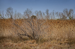 Image from Camargue (JLM62380) Tags: image arbre tree herbe swamp roseau reed herbes france marais camargue